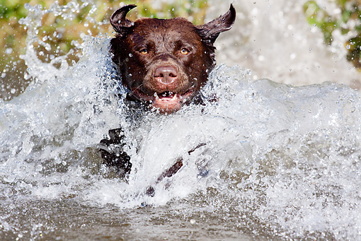 DOG 18 LS0067 01 © Kimball Stock Close-Up Of Chocolate Labrador Retriever Jumping Into Pond