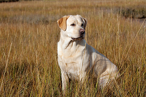 DOG 18 LS0069 01 © Kimball Stock Yellow Labrador Retriever Sitting In Salt Grass