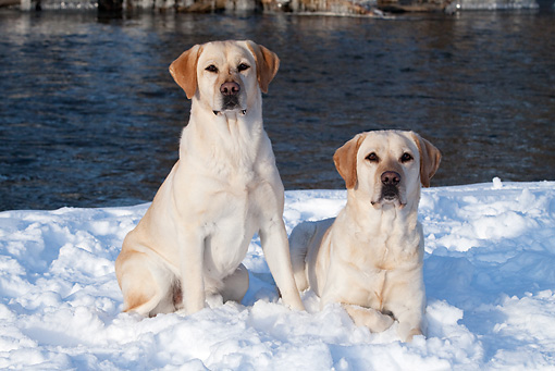 DOG 18 LS0073 01 © Kimball Stock Yellow Labrador Retrievers Sitting And Laying In Snow By Stream