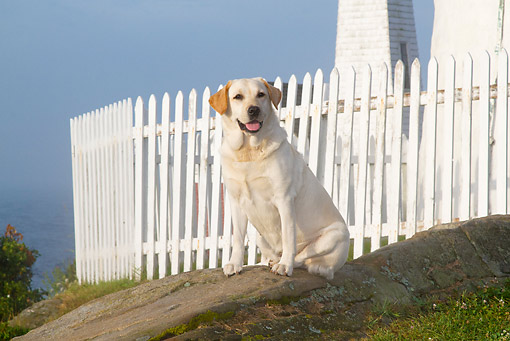 DOG 18 LS0077 01 © Kimball Stock Yellow Labrador Retriever Sitting By Fence On Foggy Morning
