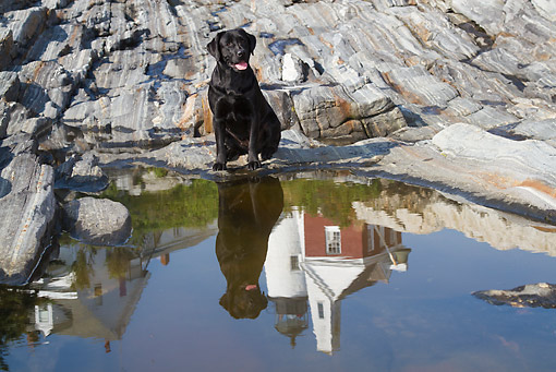 DOG 18 LS0078 01 © Kimball Stock Black Labrador Retriever Sitting By Reflection In Tidal Pool