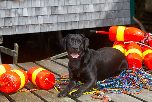 DOG 18 LS0079 01 © Kimball Stock Black Labrador Retriever Laying On Dock With Lobster Trap Buoys And Rope