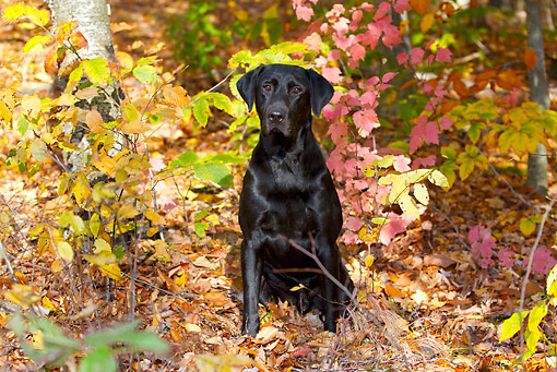 DOG 18 LS0080 01 © Kimball Stock Black Labrador Retriever Sitting In Autumn Woodland