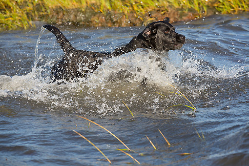 DOG 18 LS0082 01 © Kimball Stock Black Labrador Retriever Splashing Through Water