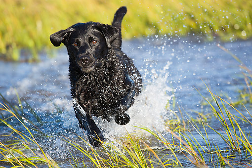 DOG 18 LS0083 01 © Kimball Stock Black Labrodor Retriever Dashing Through Shallow Water