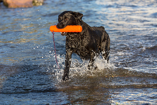 DOG 18 LS0084 01 © Kimball Stock Black Labrador Retriever Enjoying A Day At The River