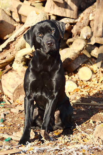 DOG 18 NR0051 01 © Kimball Stock Black Labrador Retriever Sitting By Woodpile