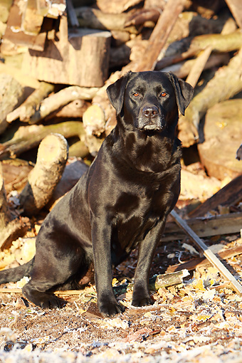 DOG 18 NR0052 01 © Kimball Stock Black Labrador Retriever Sitting By Woodpile