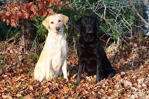 DOG 18 NR0066 01 © Kimball Stock Yellow And Black Labrador Retrievers Sitting On Fallen Leaves