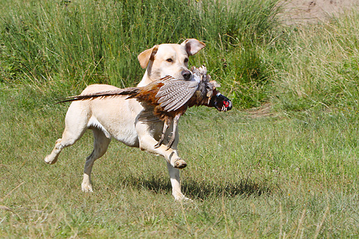 DOG 18 NR0094 01 © Kimball Stock Yellow Labrador Retriever Retrieving Game