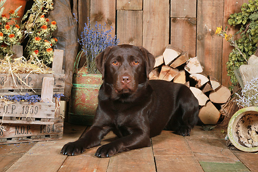 DOG 18 NR0100 01 © Kimball Stock Chocolate Labrador Retriever Laying On Wood Floor By Dried Flowers