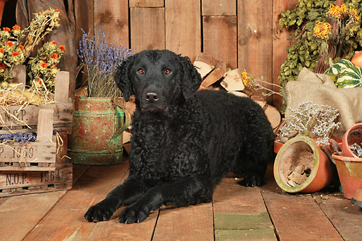DOG 18 NR0101 01 © Kimball Stock Curly Coated Retriever Laying On Wood Floor By Dried Flowers And Woodpile