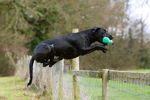 DOG 18 NR0105 01 © Kimball Stock Black Labrador Retriever Jumping Over Fence With Bumper