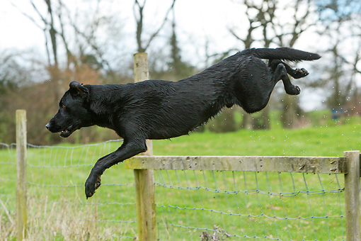 DOG 18 NR0106 01 © Kimball Stock Black Labrador Retriever Jumping Over Fence