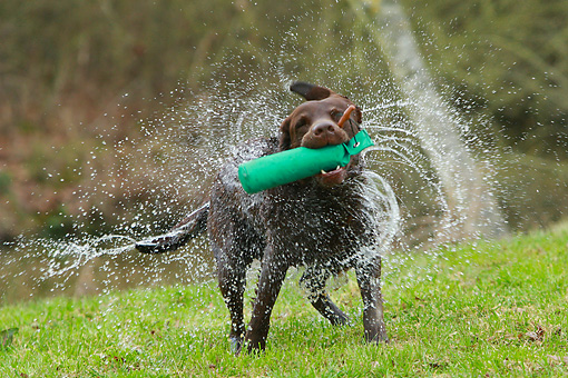 DOG 18 NR0108 01 © Kimball Stock Chocolate Labrador Retriever With Training Bumper Shaking Off Water
