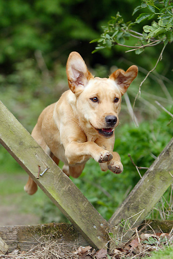 DOG 18 NR0114 01 © Kimball Stock Yellow Labrador Retriever Jumping Through Wooden Fence