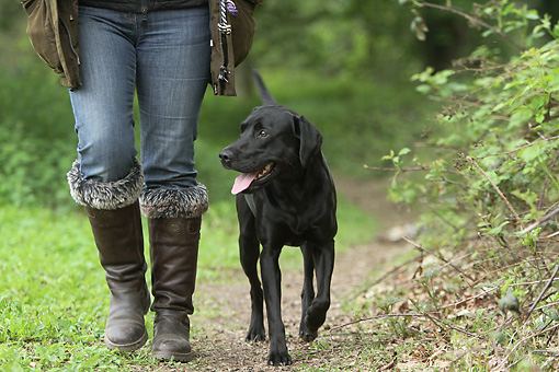 DOG 18 NR0117 01 © Kimball Stock Black Labrador Retriever Walking On Path Next To Owner