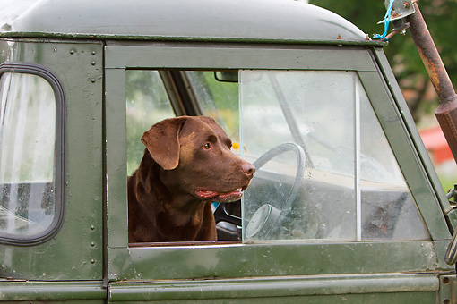 DOG 18 NR0118 01 © Kimball Stock Chocolate Labrador Retriever Looking Out Window Of Old Car