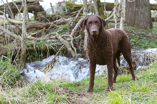DOG 18 NR0125 01 © Kimball Stock Curly Coated Retriever Standing By Creek