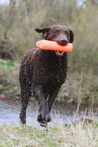 DOG 18 NR0126 01 © Kimball Stock Curly Coated Retriever Running With Toy