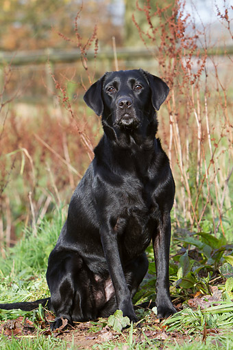 DOG 18 NR0134 01 © Kimball Stock Black Labrador Sitting On Farm