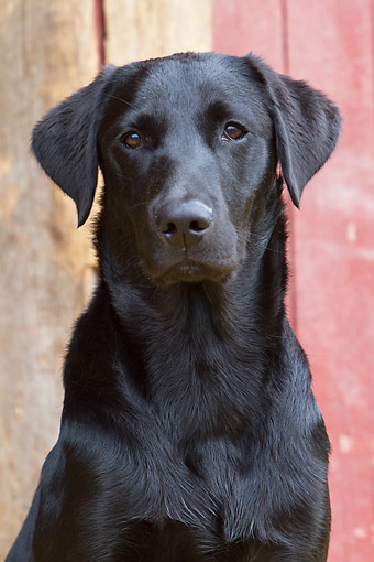 DOG 18 NR0136 01 © Kimball Stock Black Labrador Sitting On Farm
