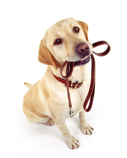 DOG 18 RK0010 19 © Kimball Stock Wide Angle Shot Of Yellow Labrador Sitting With Leash In Mouth On White Seamless