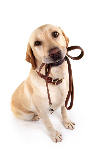 DOG 18 RK0010 23 © Kimball Stock Wide Angle Shot Of Yellow Labrador Sitting With Leash In Mouth On White Seamless