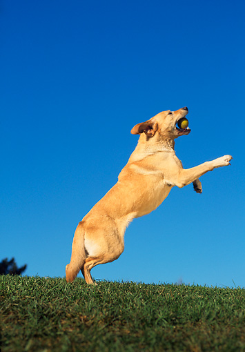 DOG 18 RK0020 02 © Kimball Stock Yellow Labrador Leaping By Trees Blue Sky