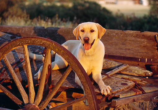 DOG 18 RK0050 09 © Kimball Stock Yellow Labrador Laying On Wagon