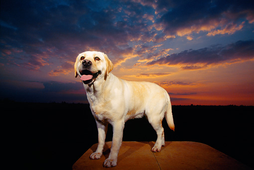 DOG 18 RK0093 01 © Kimball Stock Wide Angle Of Yellow Labrador Retriever Standing On Rock Sunset Cloud Background