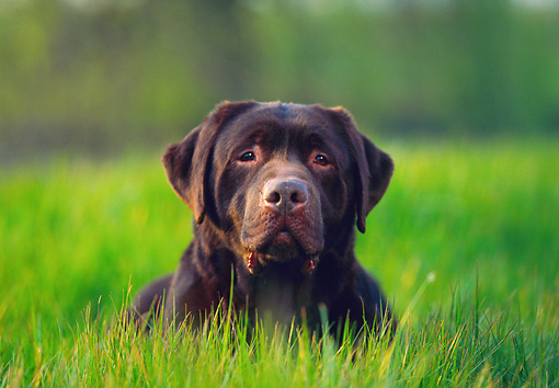 DOG 18 RK0139 01 © Kimball Stock Head Shot Of Chocolate Labrador Laying In Tall Grass Facing Camera