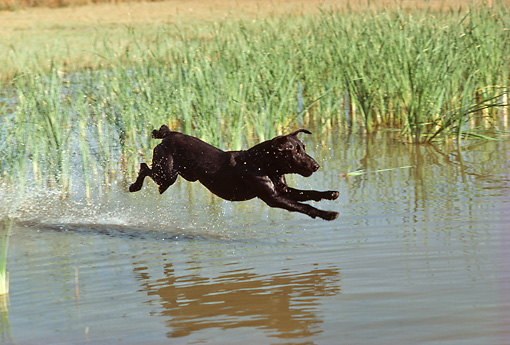 DOG 18 RK0177 03 © Kimball Stock Black Labrador Retriever Retrieving In Marsh