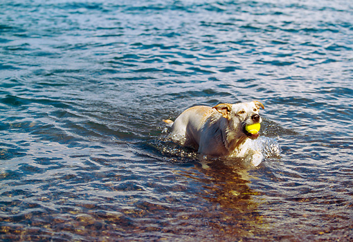DOG 18 RK0201 03 © Kimball Stock Yellow Labrador Retriever Emerging From Water Holding Ball