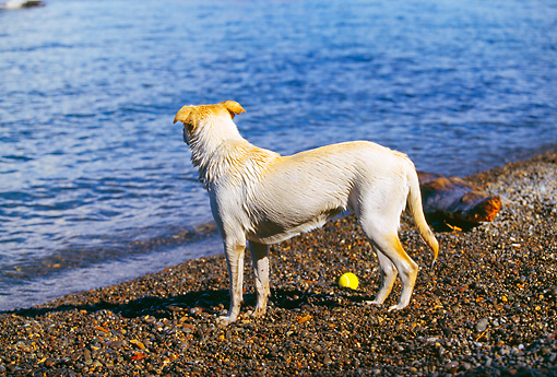 DOG 18 RK0204 01 © Kimball Stock Yellow Labrador Retriever On Shore By Water And Ball
