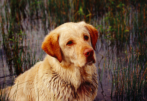 DOG 18 RK0322 02 © Kimball Stock Shoulder Shot Of Yellow Labrador Retriever Sitting In Marsh
