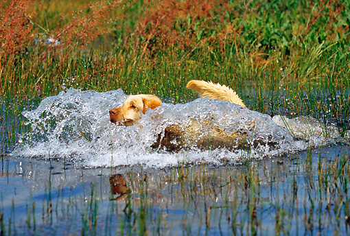 DOG 18 RK0323 38 © Kimball Stock Yellow Labrador Retriever Running Through Water Splashing