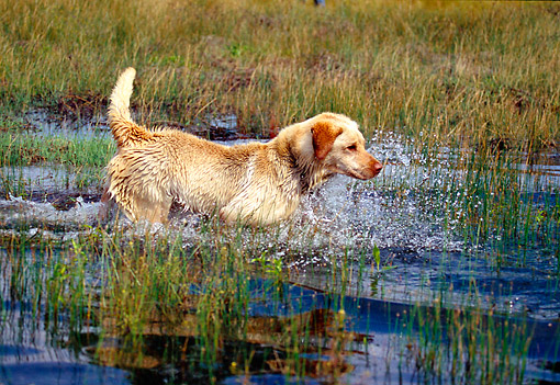 DOG 18 RK0325 01 © Kimball Stock Yellow Labrador Retriever Approaching Quarry In Marsh