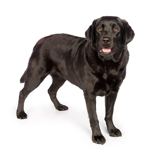 DOG 18 RK0370 01 © Kimball Stock Black Labrador Retriever Standing On White Seamless
