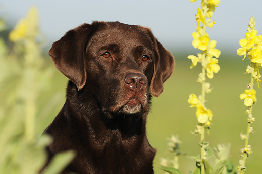 DOG 18 SS0013 01 © Kimball Stock Portrait Of Chocolate Labrador Retriever By Yellow Flowers
