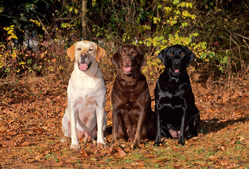 DOG 18 CE0003 01 © Kimball Stock Yellow Chocolate And Black Labrador Retrievers Sitting On Autumn Leaves By Woods