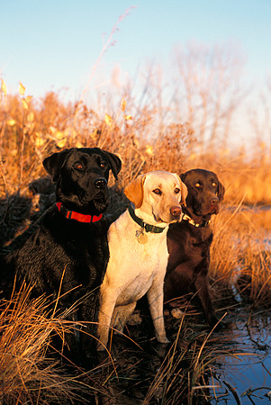 DOG 18 DB0002 01 © Kimball Stock Black Yellow And Chocolate Labrador Retriever Dogs By   Water