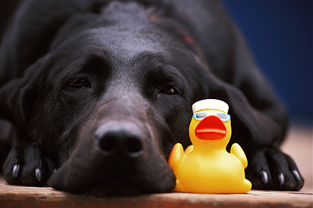 DOG 18 DB0026 01 © Kimball Stock Head Shot Of Black Labrador Retriever Laying With Rubber Ducky