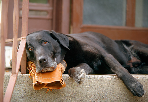 DOG 18 DB0036 01 © Kimball Stock Black Labrador Retriever Laying On Boot On Porch