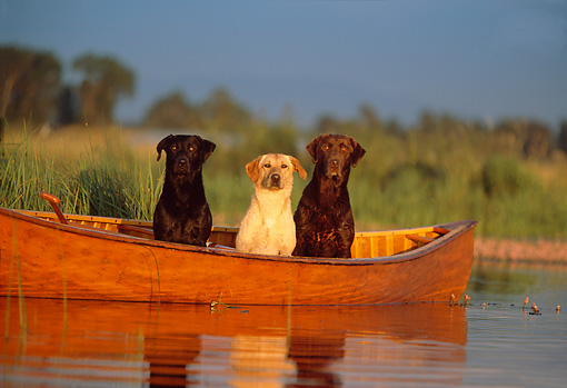 DOG 18 DB0037 01 © Kimball Stock Black Chocolate And Yellow Labrador Retriever Dogs In Boat