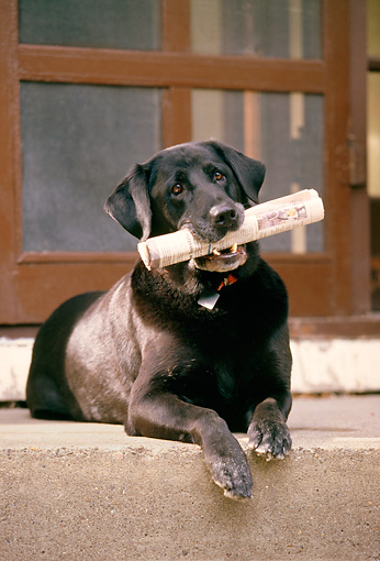 DOG 18 DB0040 01 © Kimball Stock Black Labrador Retriever Laying On Porch With Newspaper In Mouth