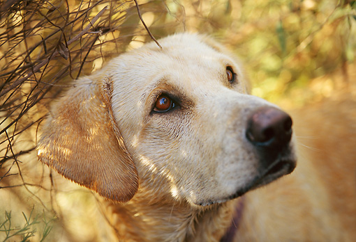 DOG 18 DB0041 01 © Kimball Stock Head Shot Of Yellow Labrador Retriever