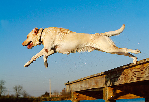 DOG 18 DB0052 01 © Kimball Stock Yellow Labrador Retriever Jumping Into Water From Dock
