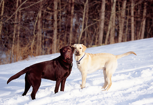 DOG 18 DB0054 01 © Kimball Stock Yellow And Chocolate Labrador Retrievers Standing In Snow