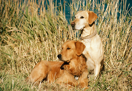 DOG 18 DB0057 01 © Kimball Stock Yellow Labrador And Golden Retriever Sitting On Grass